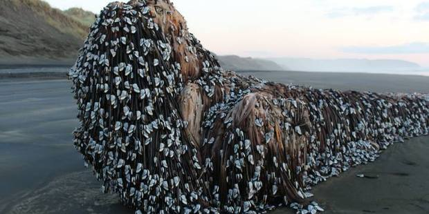 Melissa Doubleday posted this photo to the Muriwai and Waimauku Community Group Facebook page showing a barnacle covered object that washed up on Muriwai beach. Photo / Facebook