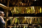 HUNG OUT TO DRY: A tobacco harvest in the American Museum of Natural History.  PHOTO/AP