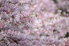 The normally pink blossoms have been in the black for seven years. Photo / Michael Craig