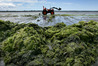 Bay of Plenty Regional Council has collected 800 tonnes of sea lettuce from Tauranga shores in the past week. Photo/file