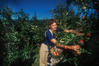 JOBS: A scheme to fill demand for horticultural workers has been proposed by NZ First. PHOTO FILE