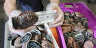 Three groups of divers face prosecution for excess and undersized paua and excess mussels after more than 40 fishery officers conducted land and vessel patrols in Wellington, Kapiti and Wairarapa at the weekend. Photo / File