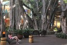 The Kiwi planted banyan tree dominates Waikiki's new International Market Place.