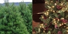 Watch: Listen: Real or Fake Christmas Tree?