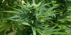 The policy would mean adults will no longer be criminalised for growing or using small amounts of marijuana. Photo / Supplied