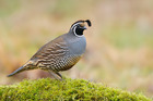 The ground-nesting Californian quail are under threat from cats.