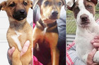 Sandy, Hunter and Nico are three of six puppies that were stolen from Turangi SPCA three weeks ago.