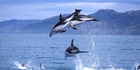 Dusky dolphins off the coast of Kaikoura as seen from a Whalewatch Kaikoura boat. Photo / Supplied