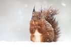 This week, the <i>Boston Globe</i> reported that a band of squirrel outlaws had repeatedly caused outages of the holiday lights adorning 60 trees on Boston Common. Photo / Getty Images