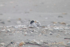 The first fairy tern of the season in its vulnerable scrape in the sand at Mangawhai. Photo / DOC