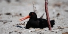 Nesting birds take up prime Mount beach real estate