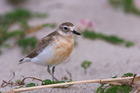 Look out for these tiny birds at Piha Beach this summer. Photo / File