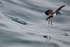 A white-faced storm petrel skims above the surface of Hauraki Gulf near Burgess Island. Photo / File