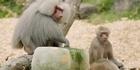 Watch: Zoo Tales: Baboon ice blocks