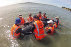 Project Jonah volunteers rescue a stranded whale of the coast of Auckland. Photo / Supplied