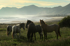 A group of horses have the beach to themselves near East Cape. Photo / Alan Gibson