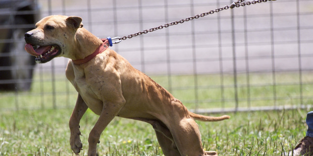 An American Pitbull Terrier, like pictured, is thought to be behind an attack on a five-year-old boy. PHOTO/FILE