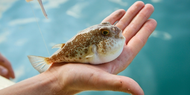 In Japan it takes three years to gain the qualifications to prepare fugu (puffer fish). Photo / 123RF