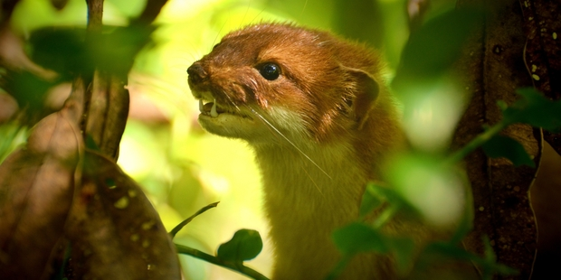 Our trap has taken out four stoats, one weasel and a hedgehog. Photo / Neil Robert Hutton