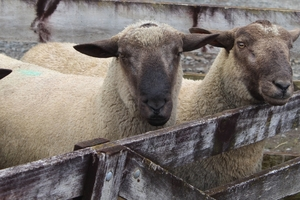 Three rams from David Thompson of Te Rapo Farm in Norsewood, made between $290 and $240.