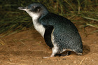 Researchers have revealed an Otago population of the world's smallest - and possibly cutest - penguin species actually hailed from across the Tasman. Photo / Supplied