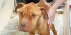 Ben was discovered with open, infected wounds. Photo / SPCA