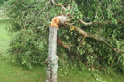 The cherry tree as it was found by Katikati Twilight Concert committee co-chairman Diana More on Saturday morning.