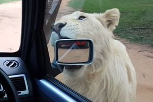 Let's go, let's go! Big cats take on car
