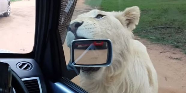 One lion attempted to take a bite out of the Golf's wing mirror. Photo / YouTube, Thaveshan Moodley