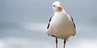 The story claims a man lured a pack of seagulls onto a train with a bag of fish and chips. Photo / iStock