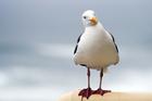 Gullible much? Seagull story classic joke