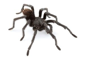 New tarantula species named after country music legend