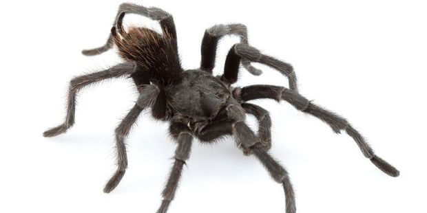 """The Johnny Cash spider (Aphonopelma johnnycashi) are described as """"teddy bears with eight legs"""". Photo / AFP"""