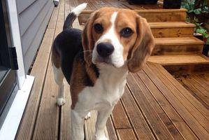Melissa Taylor is seeking information about her beagle Bee, who went missing near Katikati on January 31.