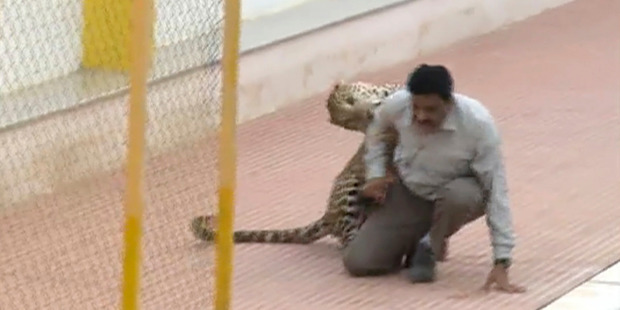 A leopard attacks a man at a school in Bangalore, India. Photo / AP