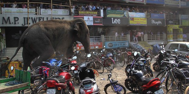 A wild elephant that strayed into the town stands after authorities shot it with a tranquiliser gun. Photo / AP