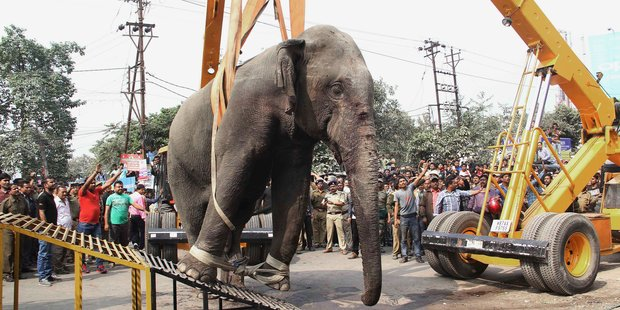 Authorities use a crane to remove a wild elephant after tranquilising it. Photo / AP