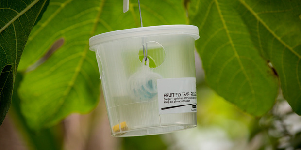 The Ministry for Primary Industries monitors for the presence of about 100 species of fruit fly using lure traps. Photo / Dean Purcell