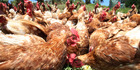 The five minute long video shows hens rushing out to a paddock.