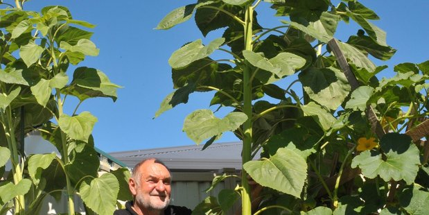 Chris Kilford dwarfed by one of his giant sunflowers. PHOTO/DON FARMER