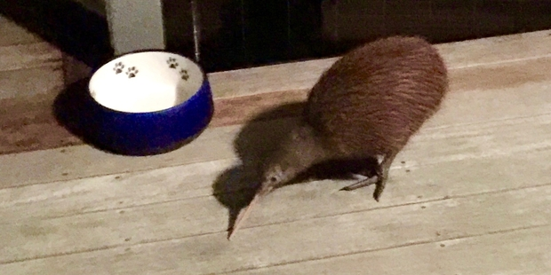 """CURIOUS: Laura Jerome's feathered visitor spent at least an hour """"stomping around"""" on her deck. PHOTO/LAURA JEROME"""