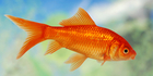 A tavern owner lost seven goldfish following an alleged sabotage of the local water scheme. Photo / iStock