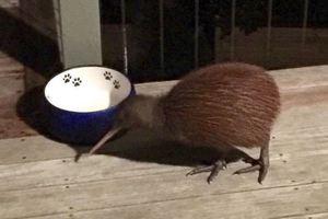 No it's not a burglar, it's a kiwi
