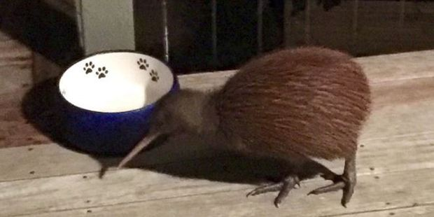 The tiny, scared kiwi that gave a woman a fright. Photo: Laura Jerome / Facebook