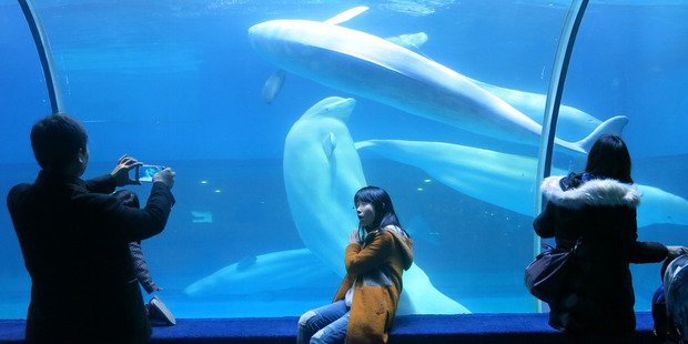 Visitors take photographs of beluga whales swimming in Grandview Mall Ocean World in the southern Chinese city of Guangzhou. Photo / Simon Denyer, Washington Post