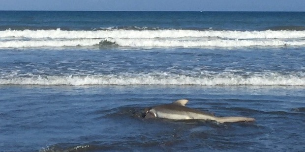 Matt Gibbins was at Te Horo beach, the next beach over from Peka Peka beach where yesterday's sharks were seen. Photo / Supplied