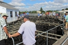 Buyers, vendors and agents check out the pens of top-quality cattle before last Thursday's major sale in Dannevirke.