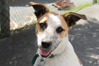 Bazza is a companionable dog with a sweet nature.