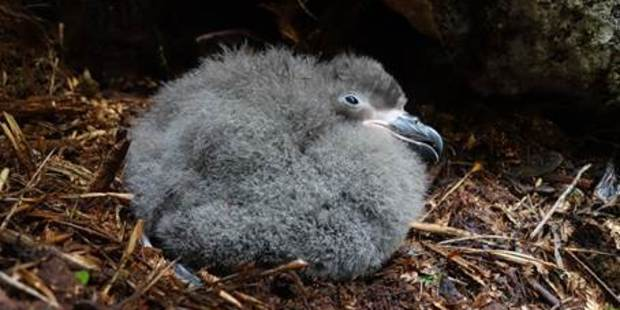 The taiko is one of New Zealand's most endangered species, with less than 150 birds left. Photo / Supplied