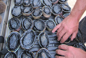 Some of the 265 paua seized by fishery officers at Waipatiki beach in March last year.
